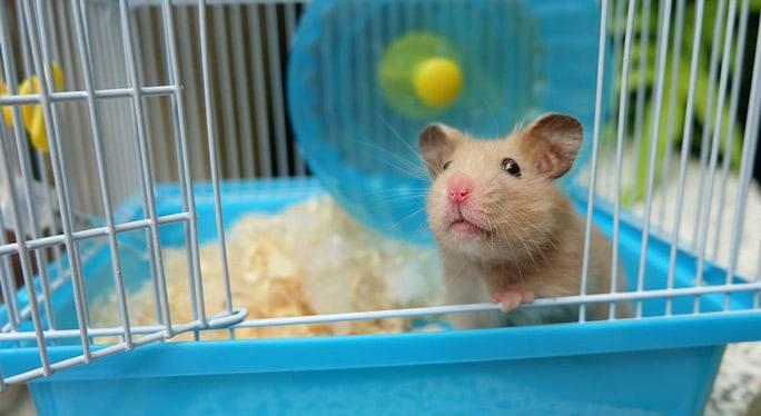 comportamento dos hamsters