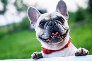 ração premier ou royal canin