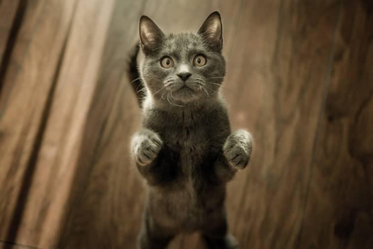 melhor ração para gatos