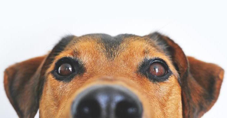 como escolher um bom petisco para treinar cães
