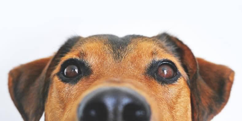como escolher um bom petisco para adestramento de cães