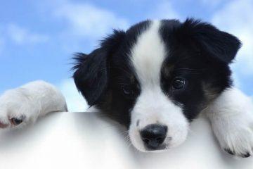 ração para cães filhotes