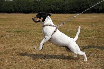 melhor guia para cachorro