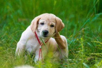 melhor remedio carrapato cachorro