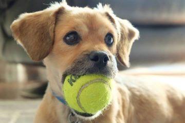 melhores brinquedos para cachorros