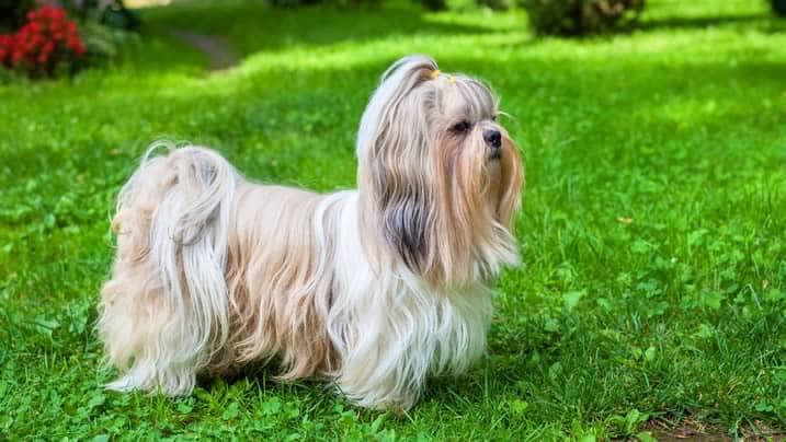 Corte de pelo de cachorro shih tzu