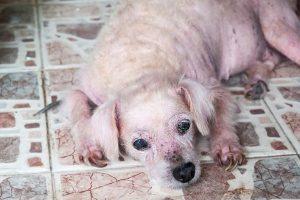 tratamento malassezia canina