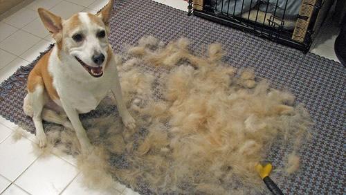 cão que usou a furminator