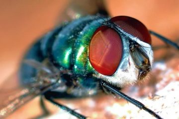 mosca transmissora da miíase