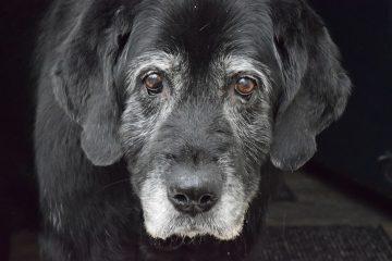 melhor ração para cachorro idoso