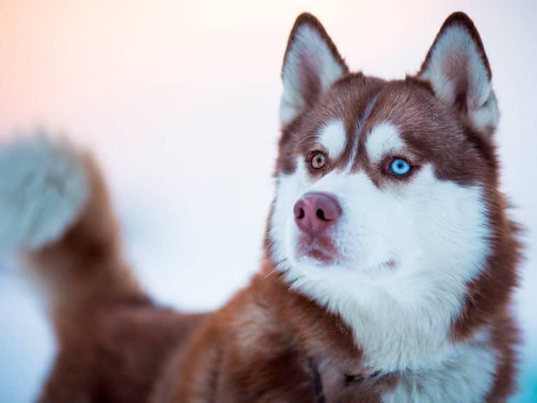 melhor ração para husky siberiano