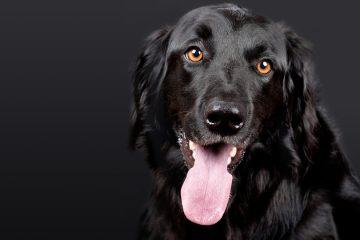 ração special dog prime