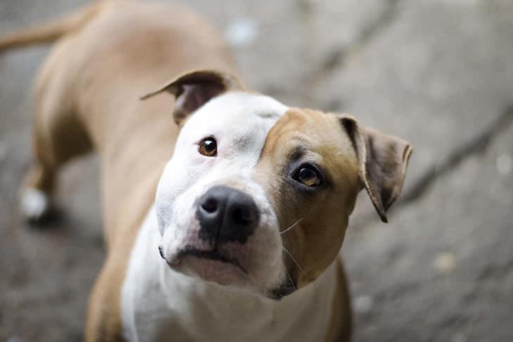 melhor ração para American Staffordshire Terrier