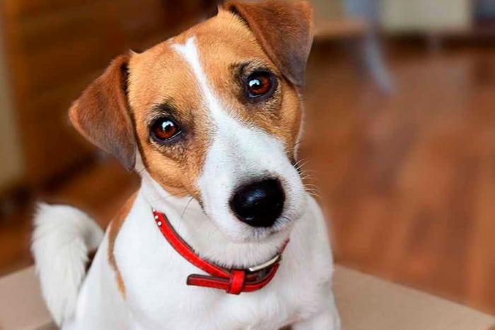 melhor ração para jack russell terrier