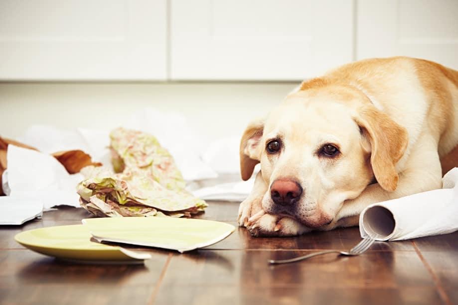 cachorro vomitando amarelo