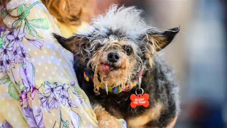 cachorros mais feios do mundo em 2019