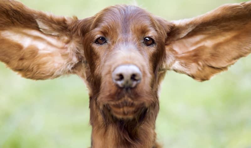 causas do Otohematoma em cães