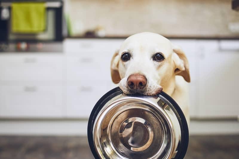 como tratar a gastroenterite canina