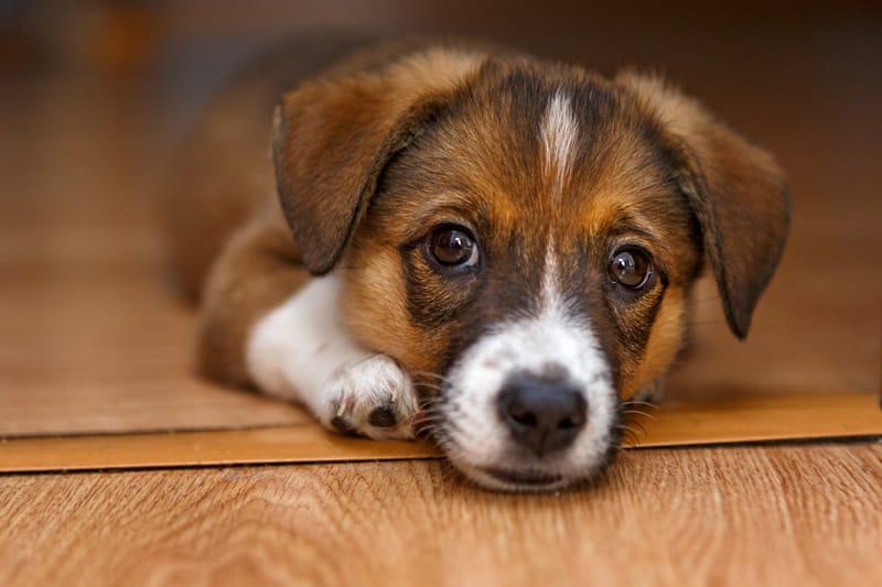 gastroenterite canina