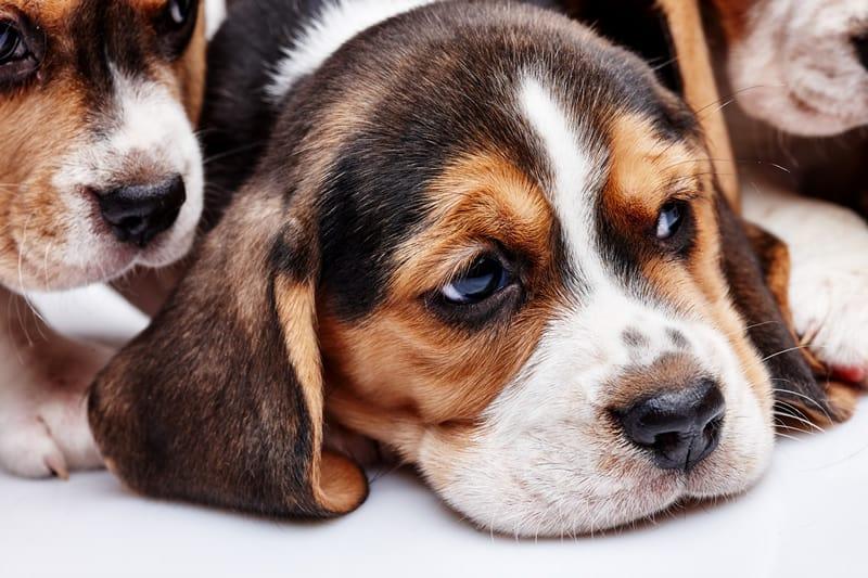 leptospirose canina